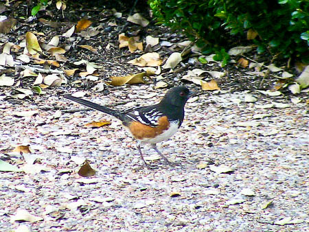 Spotted Towhee Spring 2011